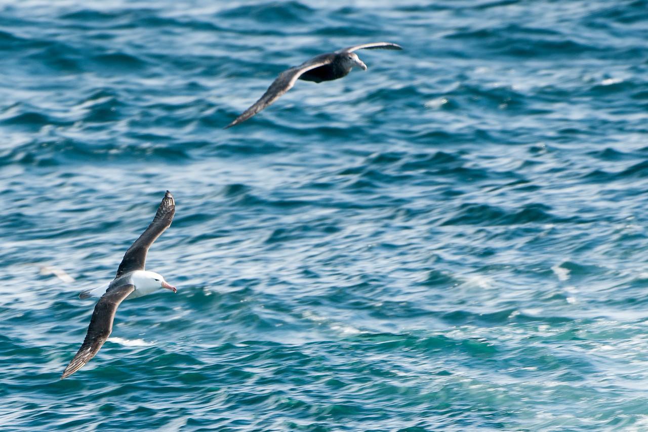 Black-browed Albatross & Giant Petrel