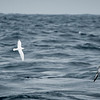 Snowy Petrel, Southern Fulmar & Antarctic Prions