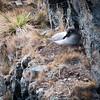 Light-mantled Albatross
