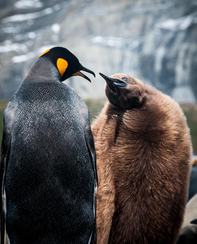 Feeding Time, King Penguins,  South Georgia Island,  November 2013