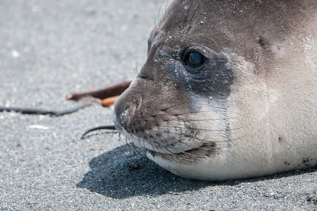 Elephant seal yearling