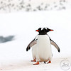 "After spending time building their nest, gentoo penguins can't wait to head back to the ocean to get a well deserved meal and a clean.<br /> <br /> This photograph was awarded a Silver in the Australian Professional Photographer Awards - 2011. It was entered in the Science Environment & Nature category. <a href=""http://www.appa.aippblog.com/"">http://www.appa.aippblog.com/</a>"