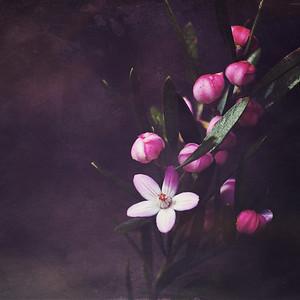 Moody Waxflowers II