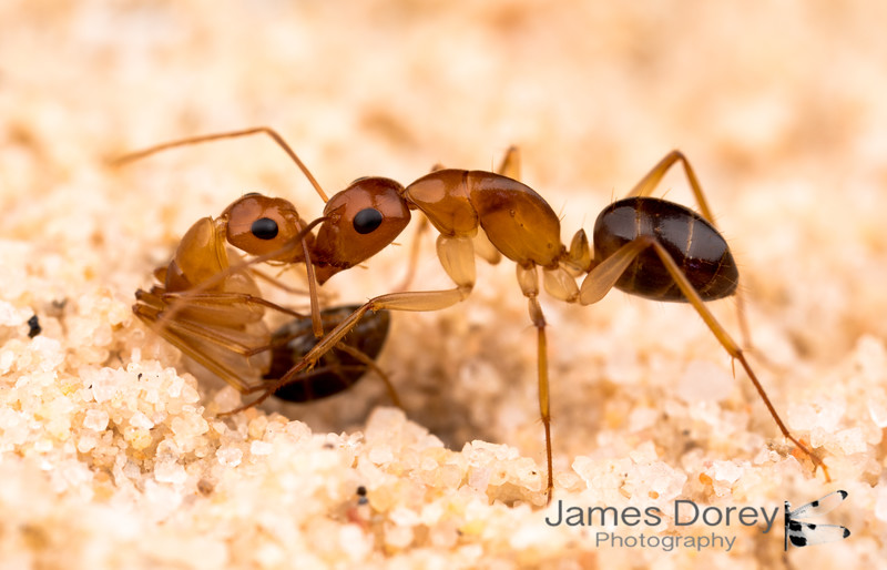 Camponotus sp. on salt flats