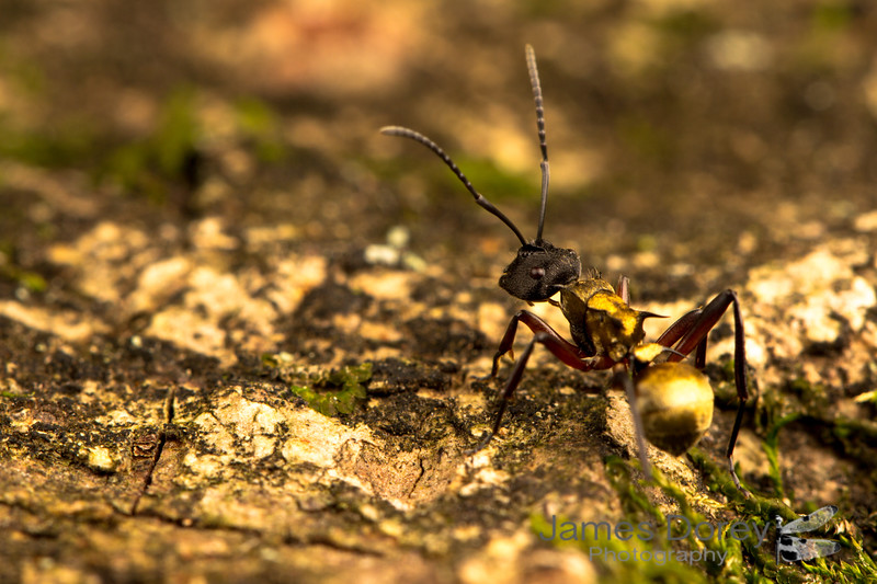 Golden-tailed Spiny Ant (Polyrhachis ammon)