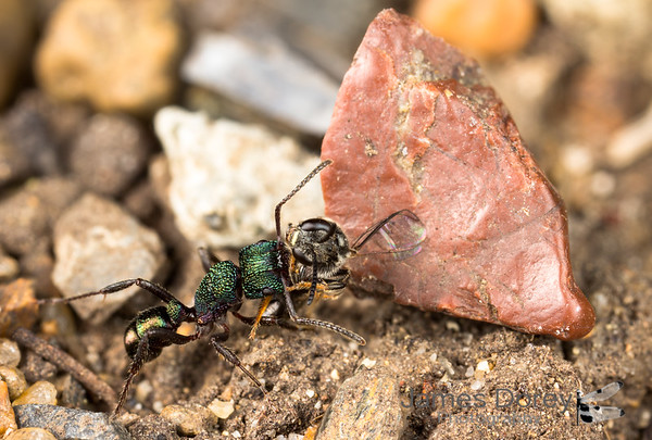 Green ant predation