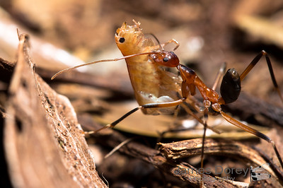 Red Spider Ant with crustacean