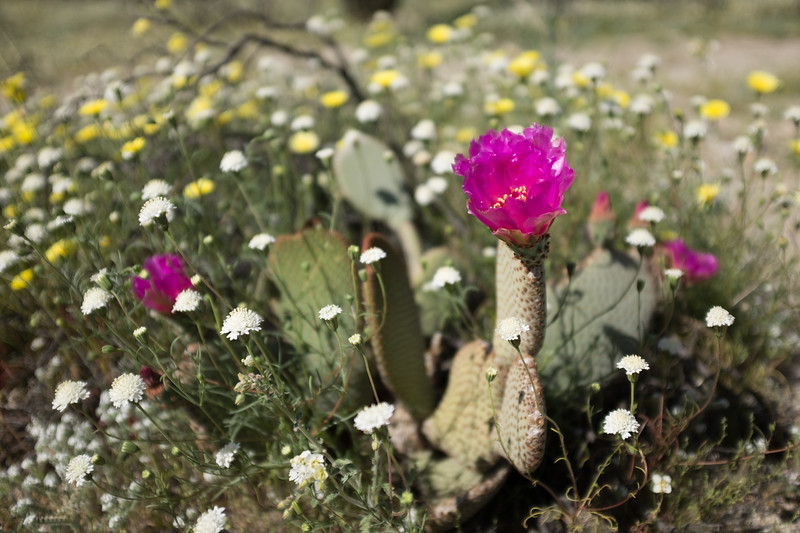 Prickly Pear Bloom