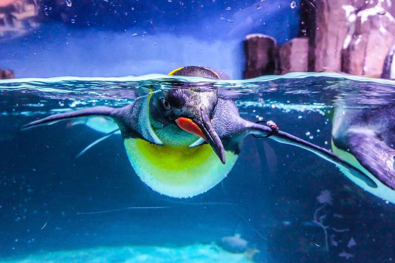 Penguin Staring, Melbourne Aquarium, Melbourne, Australia