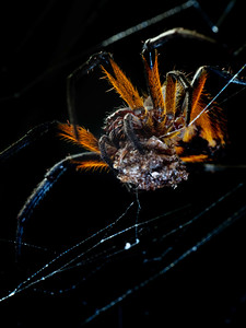 Orb weaving spider with prey