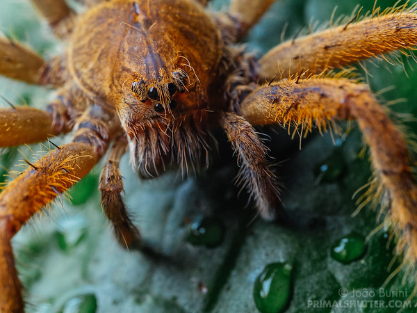 Details of an orange wandering spider