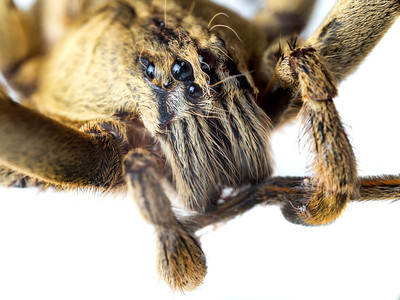 Portrait of a wandering spider