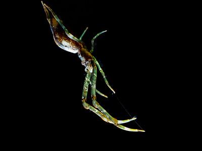 Non-venomous spider