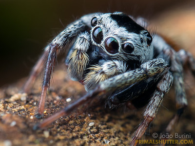 Black and white jumping spider