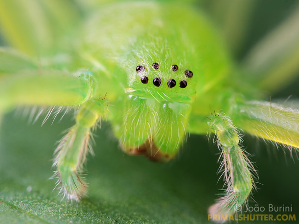Portrait of a green huntsman spider