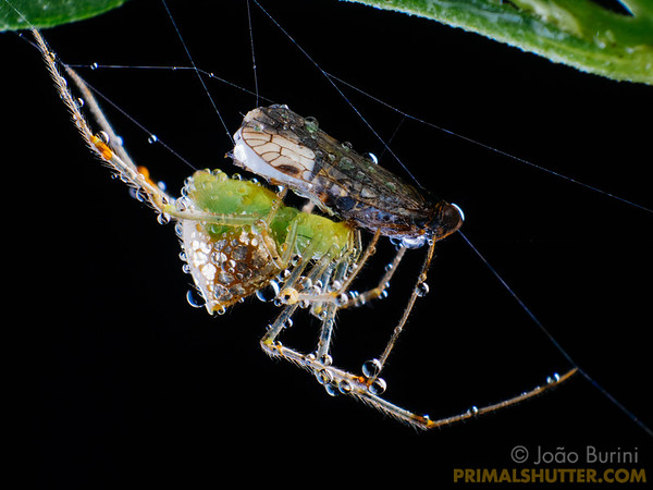 Mirror spider feeding on a planthopper