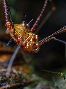 Details of a spined harvestman