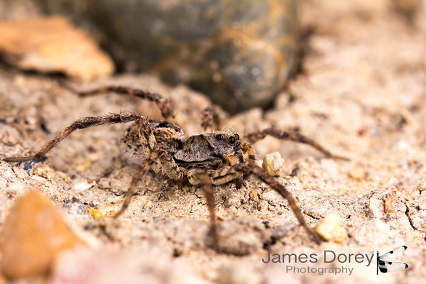Wolf Spider (Lycosidae sp.)