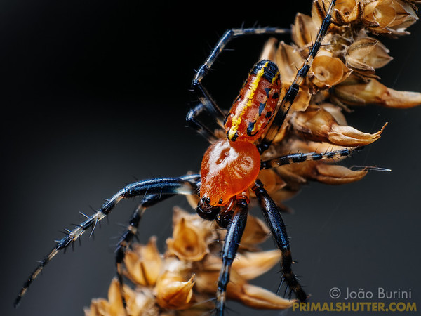 Red orb weaving spider