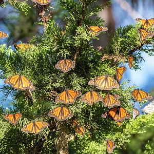Monarch butterflys