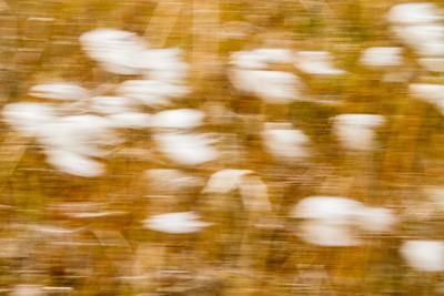Arctic Cotton Grass, Devon Island