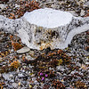 Bone and Saxifrage, Radstock Bay, Devon Island