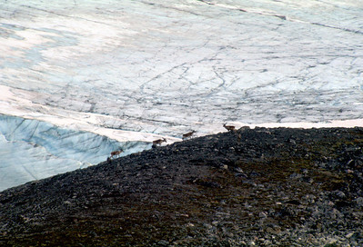Reindeer in front of inland ice, Nuqssuaq