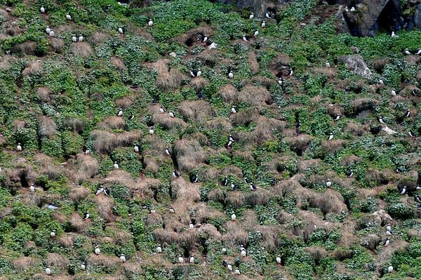 Puffin colony, Grimsey