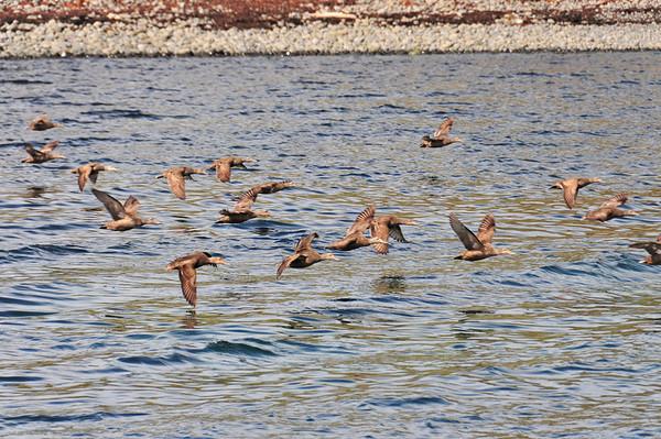 Eider duck flock on Grimsey