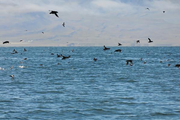 Puffin swarm, Grimsey