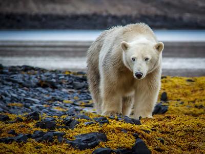 Hungry Polar Bear
