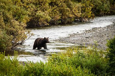 Brown bear - Kamchatka, Russian Far East