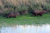 Capybara (Hydrochoerus hydrochaeris) - a semi-aquatic mammal found throughout almost all countries of South America (excluding Chile).