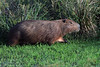 Capybara - this species is the largest rodent on Earth.  They grow to about 4.4 ft. (1.3 m) in length - a height at the shoulder of near 2 ft. (.6  m) - and weigh to around 145 lb. (66 kg).  Females are typically slightly larger.
