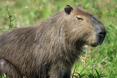 Capybara - their fur is coarse and thin, and is reddish brown over most of the body, turning yellowish brown on the belly and sometimes black on the face. The body is barrel-shaped, sturdy, and tailless. The front legs are slightly shorter than the hind legs.