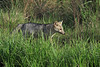 South American Gray Fox - they are omnivorous and feed on crabs, fish, reptiles, birds, rodents, insects, eggs, and fruit.