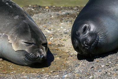 Southern Elephant Seals - one recently and completely saturated with water - the other partially saturated, displaying their fur-like pelage.