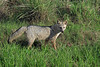 Savanna or Crab-Eating Fox - this species has a body length to about  28 in. (70 cm), a tail length of approximately 12 in. (30 cm) - and weight up to around 18 lb. (8 kg).