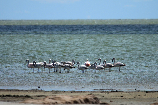 Chilean Flamingo (Phoenicopterus chilensis) - is the most widespread of the 3 species found in South America (6 species on Earth).  The majority are found in Peru and Bolivia, followed by Argentina then Chile, and minimal distribution in Uruguay, Brazil, and Paraguay.
