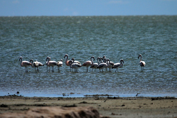 """Chilean Flamingo - it is distinguised from all other flamingos by its grey legs with pink knees and feet. This flock along the bank of Mar Chiquita """"Little Sea"""" (an endorheic salt lake, and largest lake in Argentina), located in the northeast of the province of Córdoba)."""