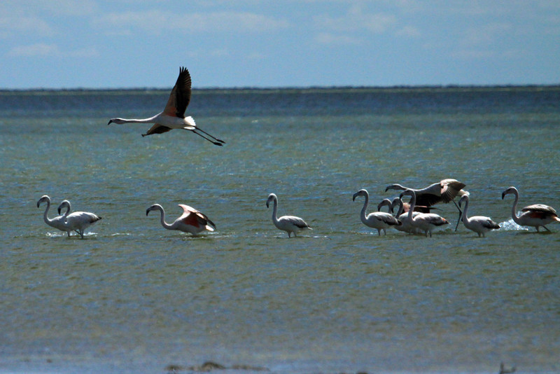 Chilean Flamingo - locally called Flamenco Chileno - here taking flight from the waters of Mar Chiquita.