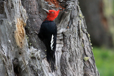 Magellanic Woodpecker - males grow up to around 16 in. (41 cm) in length - and weigh to about 13 oz. - females are typically smaller.