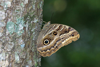 Brazilian Owl Butterfly - also called Almond Eye Owl
