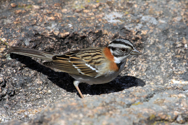 Rufous-collared Sparrow - reaches 6 in. (15 cm) long - the bill is short and straight, about .6 in. (15 mm).  Here atop a granite boulder.