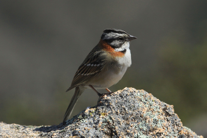 "Rufus-collared Sparrow (Zonotrichia capensis) - known locally as ""Chingolo"" - is one of the most common passerine species in Latin America, ranging from Mexico to Tierra del Fuego, in Argentina.  This specimen upon the granite rock in the Quebrada del Condorito National Park, in Cordoba (province)."