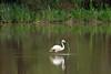Chilean Flamingo reflection