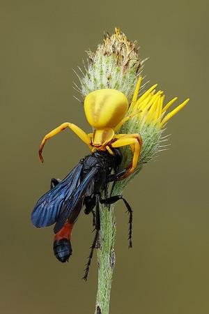 Arizona Invertebrates