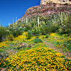 Organ Pipe Cactus National Monument<br /> Mexican Gold Poppy