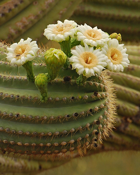 Saguaro Flowers: Side