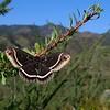 Eupackardia calleta neat Pepper Sauce Canyon, AZ